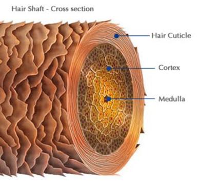 O Fio de cabelo é constituído por 3 camadas: cutícula, córtex e medula.