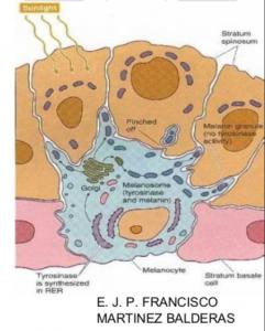 zoom-melanocito