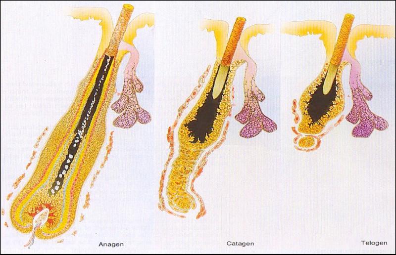 OUTONO PARA OS CABELOS - Fase de crescimento(anágeno), repouso(catágena) e queda dos cabelos (telógena)